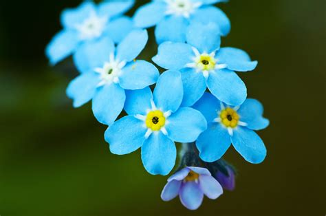 forget me nots flower love 4 blue purple beauty forget me not french love