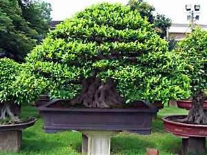 Ficus Bonsai Schneiden : ficus ginseng ~ Indierocktalk.com Haus und Dekorationen
