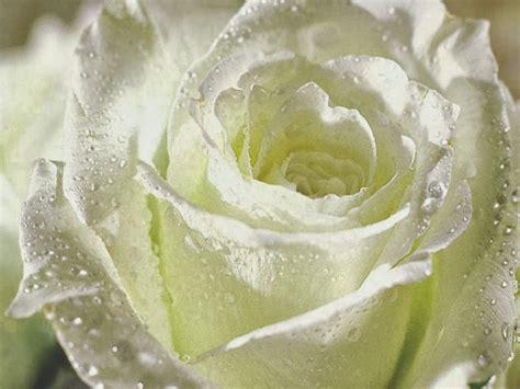 Check spelling or type a new query. Kumpulan Gambar Bunga Mawar Putih yang Cantik & Indah - Animasi Korea Meme Lucu Emo Bergerak