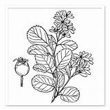 Shrub Drawing Shrubs Plant Sugar Trees Getdrawings sketch template