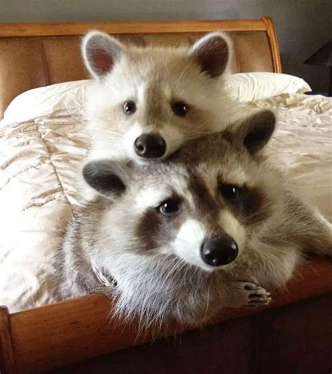 15 Raccoon Pictures That Prove How Cute They Actually Are ...