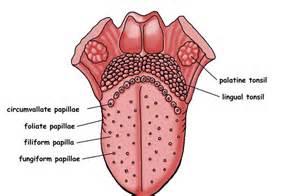 Tongue Papillae Taste Buds