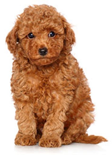 dog  world curly hair  image gallery pretty bestest
