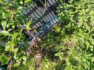 Heidelbeere Im Kübel : heidelbeere blautropf ~ Lizthompson.info Haus und Dekorationen