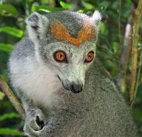 Crowned lemur Lemur Mammals Nature animals