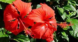 health benefits of hibiscus or china leaves you never