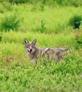 Une étude ADN confirme l'existence d'hybrides loup–coyote ...