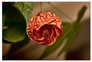 Flower on Chinese Lantern Tree by Dewardb on DeviantArt