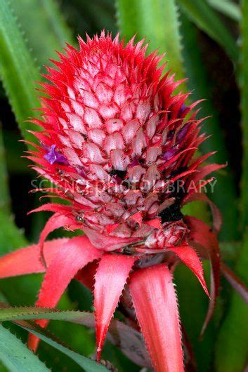 pineapple ananas comosus in flower stock image c015 1089 science photo library