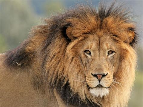 African Lions Finally Gain Endangered Species Act