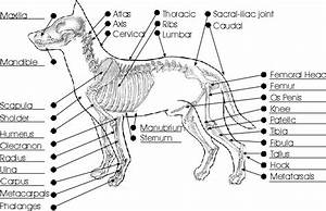 Ultimate Guide To Dog Skeletal System And Reproductive Anatomy