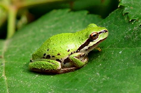 Green Frog Pictures on Animal Picture Society