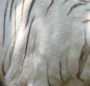 White Tiger Fur Texture