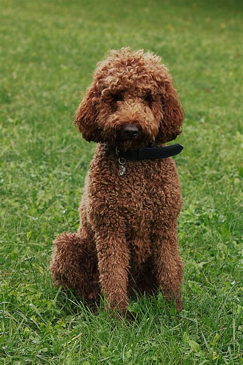 List Of Non Shedding Dogs Wiki by 100 Hypoallergenic Non Shedding Small Breeds