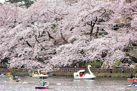 Swan Boats Sunday Hours by Swan Boats On The Pond At Inokashira Park In