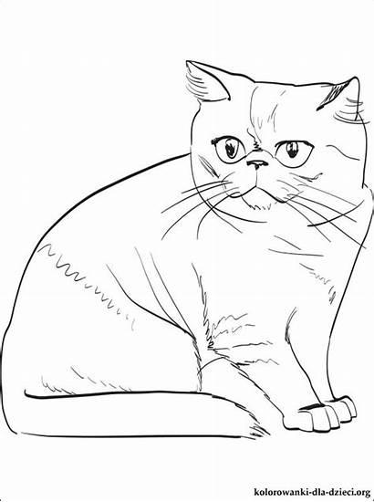 Coloring Exotic Shorthair Cat Colorare Kolorowanki Dla