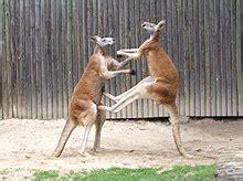 Kangaroo Wikipedia