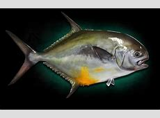 Permit Fish Mounts by Marine Creations Taxidermy