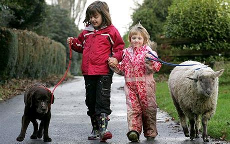 family walks pet sheep  dogs telegraph