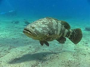 goliath grouper fishmount