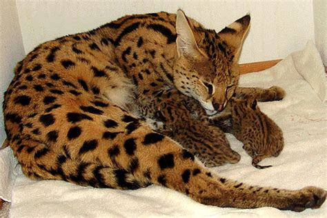 Slender Spotted Big Eared African Cat Baby Animal Zoo