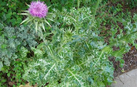 Buy Milk Thistle Tea Benefits And Side Effects Herbal
