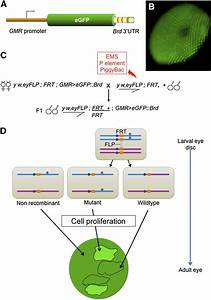 A Systematic Genetic Screen To Dissect The Microrna Pathway In Drosophila