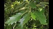 QUERCUS. Familia de las Fagaceae - YouTube