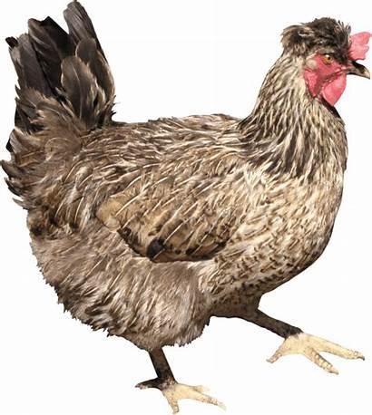 Chicken Pngimg Transparent Feathered Rad Rabbit Res