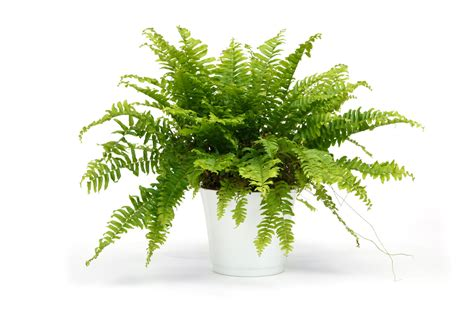 fern house plants 15 indoor air purifying plants for your apartment or home 6sqft