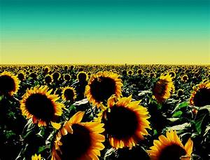 Sunflower Photography Tumblr Mac | All HD Wallpapers