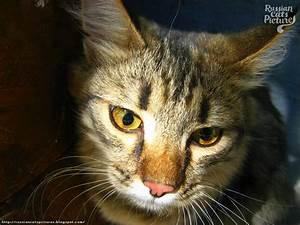 Yellow-Eyed Brown Mackerel Tabby Shy Cat — Russian Cats ...