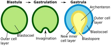 Gastrulation In Humans And Other Mammals