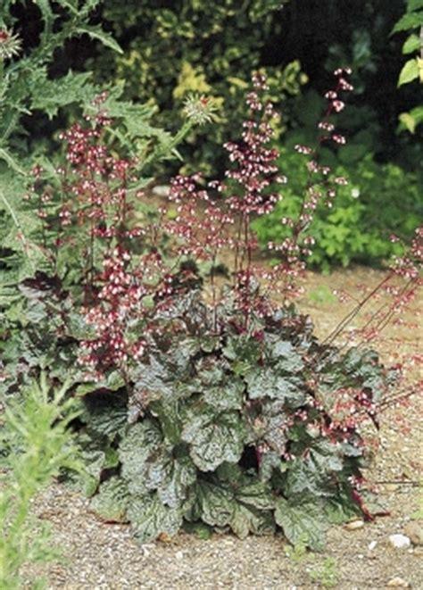photo gallery heuchera   gardencom