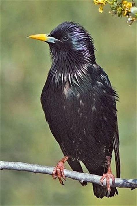 black bird   yellow beak quora