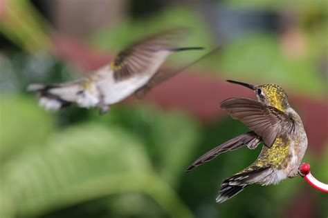 how to get rid of bully hummingbirds