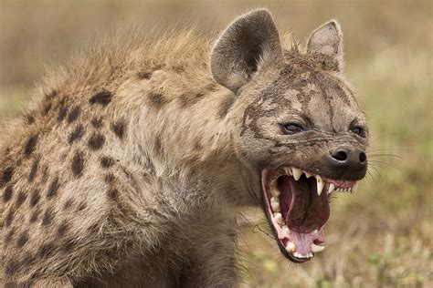 hunters  hunted hyenas  giant baboons