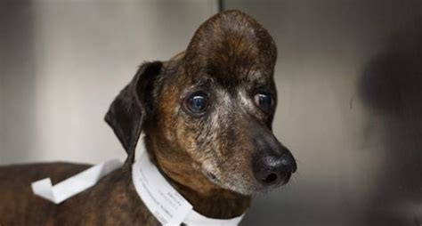 dachshund  huge tumor  skull  cancer