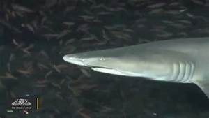 Beachgoers Lose Limbs in Shallow-water Shark Attacks - YouTube