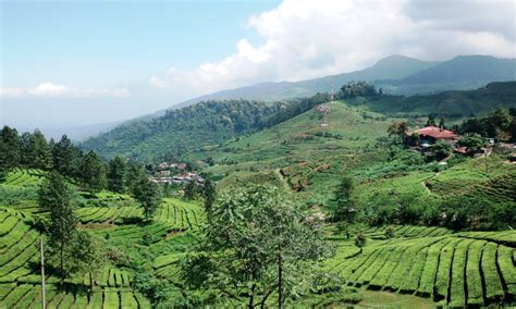 gunung mas wisata keringat susur kebun teh indeksberitacom