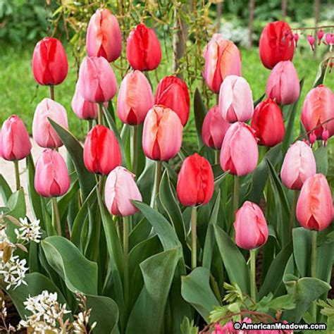 when do u plant tulips plant to impress perennial darwin tulip mix american meadows