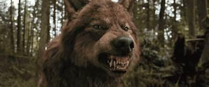 Jacob Werewolf Twilight Bella Wolf Lobos Gifs