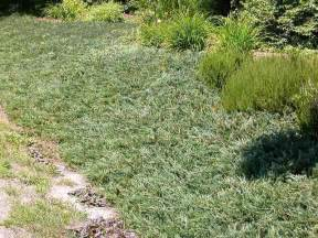 Mauvaise Herbe Jardin 10 Lettres by Plantfiles Pictures Creeping Juniper Trailing Juniper