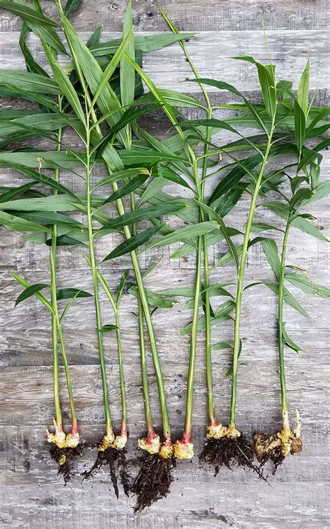 favorite edible plants  grow  shade