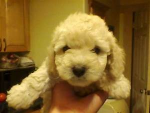 Cute Puppy Dogs: cute poodle puppies