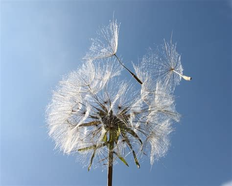 photo garden dandelion lint seeds bol