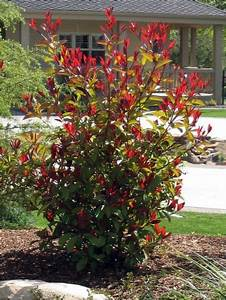 Photinia Fraseri Robusta Compacta : how to prune red tip photinia robins gardens and plants ~ Buech-reservation.com Haus und Dekorationen