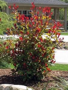 Red Robin Baum : how to prune red tip photinia the great outdoors pinterest garten and gartenecke ~ Frokenaadalensverden.com Haus und Dekorationen
