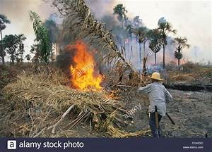 Tropical rainforest, slash and burn cultivation by local ...