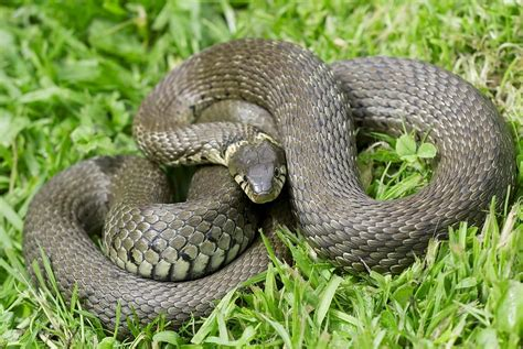grass snake photograph  adrian bicker